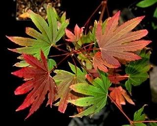 KI SETSUDE OREGON VINE MAPLE / JAPANESE MAPLE HYBRID - NEW TREE WITH EXCEPTIONAL SPRING COLORATION OF DUSTY ROSE - Acer x circinatum 'Ki Setsude' 3 - YEAR PLANT