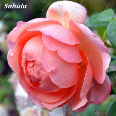 True Color mélange Graines Pivoine jardin Fleurs vivaces Fleurs en pot Graines de plantes ornementales de jardin Bonsai-10 Pcs 15