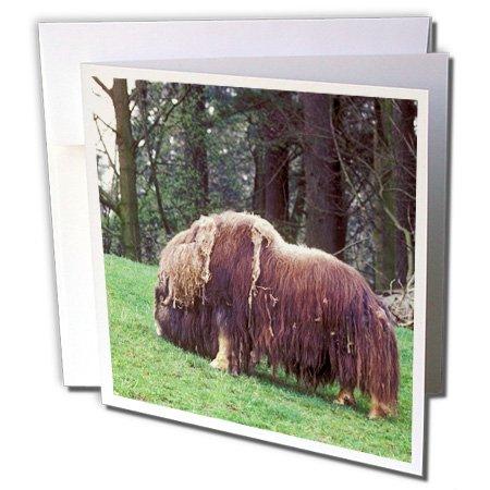 3dRose Gc_84072_1 Grußkarten, Motiv: Ochsen auf einem grünen Hügel – NA02 JMI0016 – Janis Miglavs – 15,2 x 15,2 cm, 6 Stück