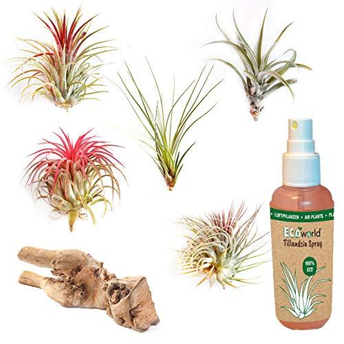 Ecoworld Tillandsien, Luftpflanzen - 5 Stück - 5 Verschiedene Pflanzen + Dekoratives Holz