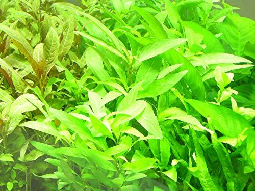 Mühlan – über 120 Aquarium-Pflanzen in 16 Bunde – großes farbiges Sortiment für 200 Liter Aquarium - 7