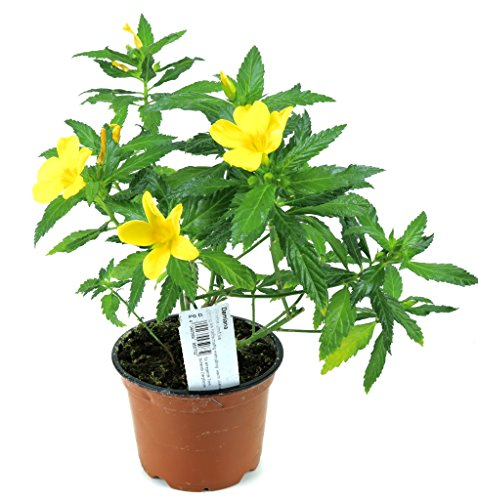 Damiana Pflanze, Heilpflanze aus Nachhaltigem Anbau, frische Qualität aus der Gärtnerei!