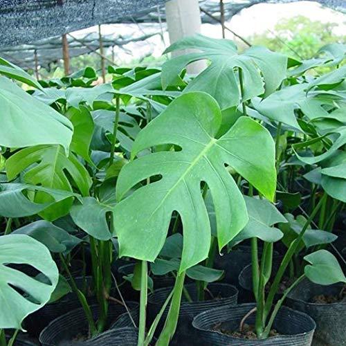 Swiftt Samen, 50Pcs/Bag (Monstera delicosa) Samen,Monstera Samen, Zimmerpflanze,Blumensamen für Heim, Garten, Balkon, Terrasse