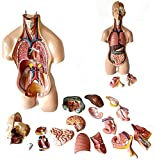 GEQWE Modelo De Ensamblaje Anatómico 4D De Órganos Humanos para La Enseñanza, Educación, Escuela, Bricolaje Extraíble, Tienda Familiar, Anatomía Médica (22 Pulgadas / 55 Cm)