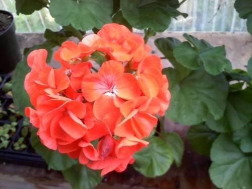 15 Film Coated Géranium Maverick orange Géranium Seeds