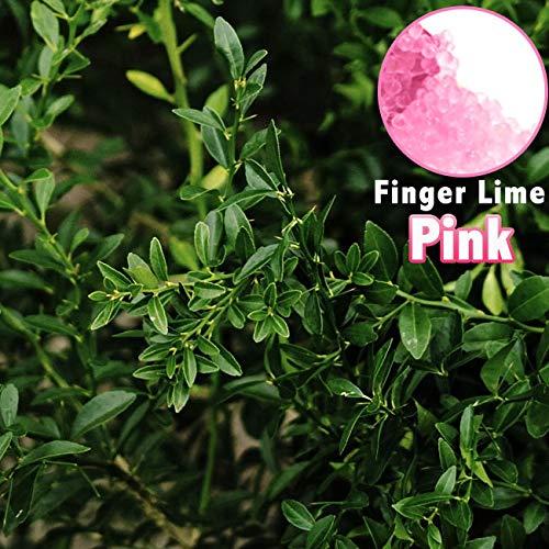 【フィンガーライム 苗木】 ピンク 1年生 接ぎ木苗