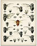 Cicada Insect Illustration - 11x14 Unframed Art Print - Great Home Decor and a Great Classroom Decor and Gift for Bug and Nature Lovers Under $15