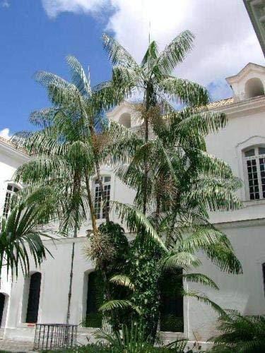vegherb Euterpe oleracea   Assai & Acai Palm   5 Samen