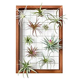 Mkono Air Plant Frame Hanging Airplant Holder Tillandsia Display Hanger Wooden Shelf Wall Decor for House Plants… 1 A wonderful way to display your tillandsias. This frame allows air and light to pass through. With hooks at the back, easy to hang anywhere, wall, windows or outdoor.