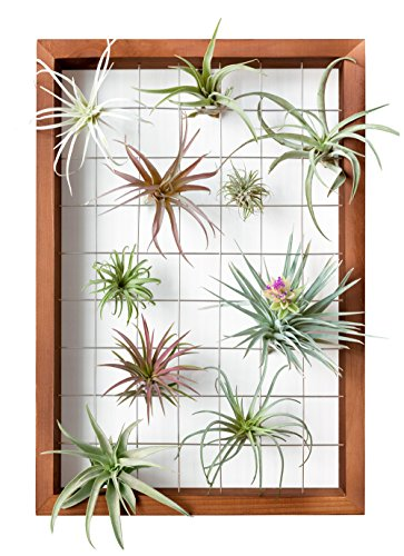 Mkono Air Plant Frame Tillandsia Wall Display, 7 7/8 Inch, 16 Inch 1 A wonderful way to display your tillandsias. This frame allows air and light to pass through. With hooks at the back, easy to hang anywhere, wall, windows or outdoor.