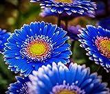 Garden Seeds Flower Native Texas Indian Blanket Wildflower Perennial Butterflies Garden 200 Seeds