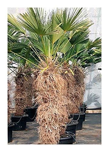Trachycarpus wagnerianus - Palmier de chanvre chinois - 5 graines