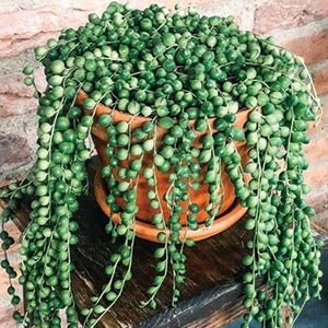 8 National products Healthy String of Pearls Cuttings - Sedum Succulents Max 55% OFF 4 About