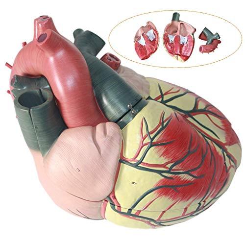 WANGXN Modelo de corazón Humano Recursos de Aprendizaje Modelo de Estructura cardíaca de sección Transversal de Espuma Suave Modelo de cardiología y anatomía de órganos Humanos