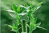 100 semillas / bag, semillas de bambú de la suerte, en maceta Balcón, Plantar es simple, de...