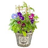 【Amazon限定ブランド】花のギフト社 朝顔鉢植え 朝顔の鉢植え 朝顔 朝顔市 鉢花 鉢 あさがお