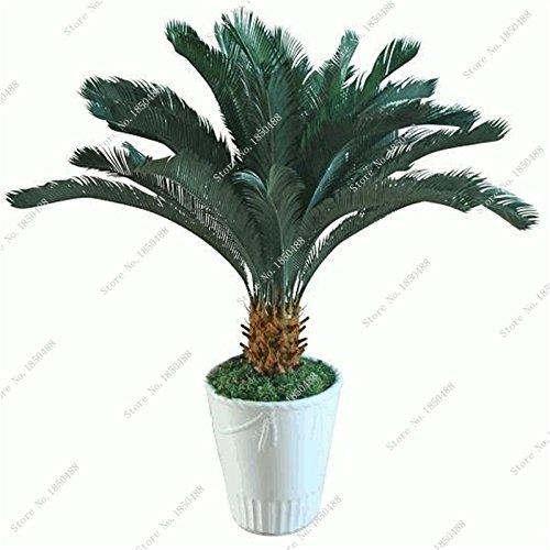 Importation de fer Arbre Cycas semences Tie Shu Evergreen Arbuste Grove Seed Embellir feuilles des plantes Bonsai Pots de fleurs Pots 5 pièces
