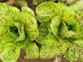 Forellenschluss Speckled Trout Back Heirloom Lettuce Seeds Non-GMO