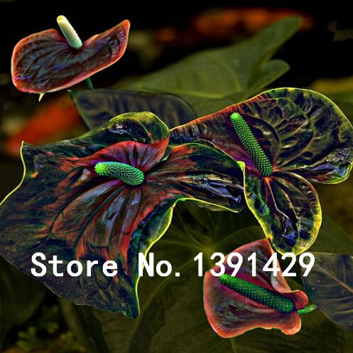 100 Stück Schwarz + Rosa Anthurium Samen Seltene Blumensamen Balkon Topfpflanze + Rosensamen als Geschenk, Bonsai für DIY Hausgarten