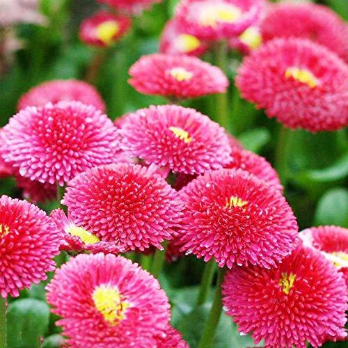 50 Stück Bellis-Samen Seltene, nicht gentechnisch veränderte mehrjährige Chrysanthemen-Blumensamen für das Amt - Chrysanthemen-Samen