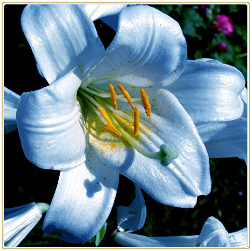 Lilien zwiebeln winterhart,Blume große lebende Pflanzenhaus Bio-Pflanze eingetopft-2zwiebeln