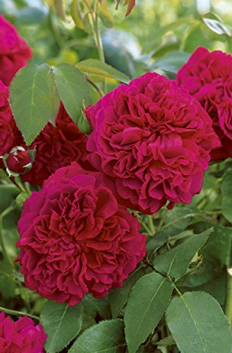 'William Shakespeare 2000' -R-, Englische Rose (David Austin) im 4 Liter Container
