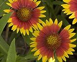 David's Garden Seeds Flower Native Texas Indian Blanket 5115 (Multi) 200 Non-GMO, Heirloom Seeds