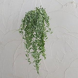 観葉植物5号吊鉢:ディスキディア・エメラルド