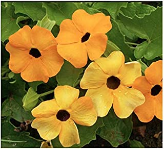 Black Eyed Susan Vine - 200+ Seeds - Tender Perennial Zones 6-10