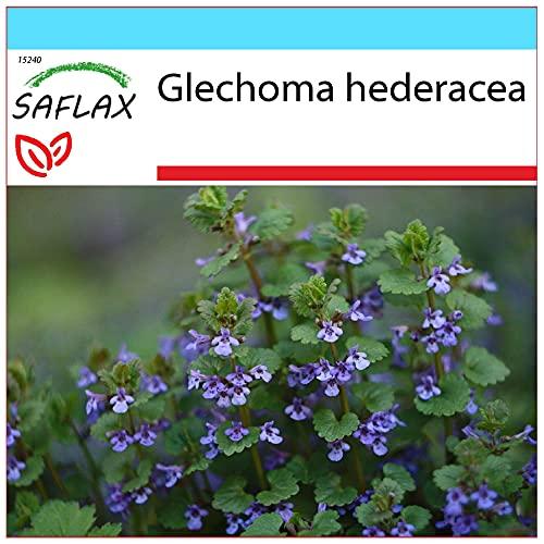 SAFLAX - Geschenk Set - Heilpflanzen - G&ermann/G&elrebe - 75 Samen - Mit Geschenk- / Versandbox, Versandaufkleber, Geschenkkarte & Anzuchtsubstrat - Glechoma hederacea