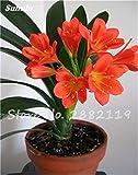 100 Pz misti Clivia semi, perenne fiore Pianta in vaso, colore multiplo scegliere, balcone pianta bonsai del fiore Per Garden Decor 8