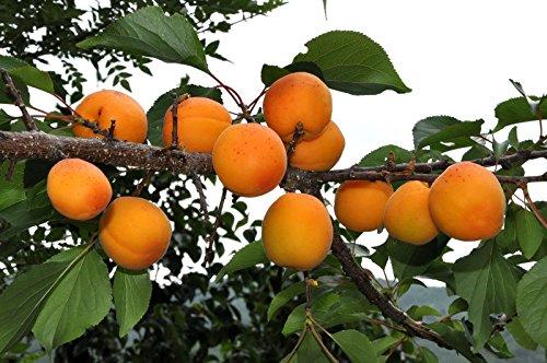 10 Samen Aprikose, Prunus Armeniaca, (Fast, Auffälliges, Hardy)