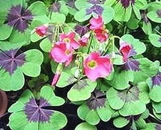 Nianyan 10 Bulb of Oxalis - Tetraphylla 'Iron Cross'