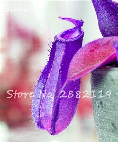 60 Pcs vivaces Nepenthes Seeds Carnivores Venus Fly Trap plus chaud du monde des plantes Graines Bonsai Garden Seed Color Mix Livraison gratuite 7