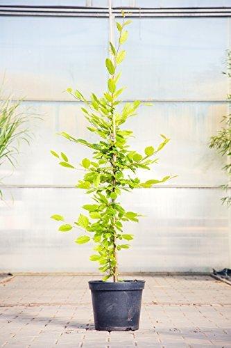 Hainbuche 80-100 cm Busch für Sonne-Halbschatten Heckenpflanze grünes Laub Gartenpflanze winterhart 1 Pflanze im Topf