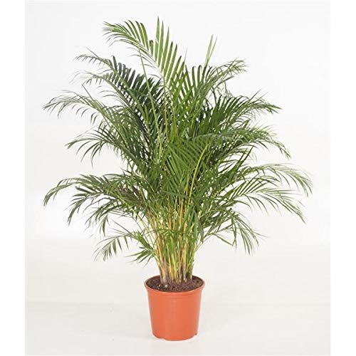 Goldfruchtpalme 40 cm Arecapalme Chrysalidocarpus lutescens / echte Pflanze