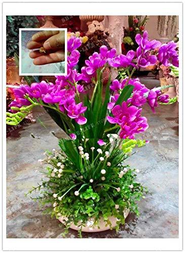 Rose Red Freesie Hybrida Zwiebeln Topfblumentopfpflanze Roots Bonsai -Flower Birnen Zimmerpflanze Natur Wachstum 2ST