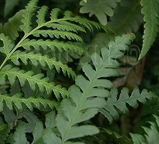 tokyo wood fern