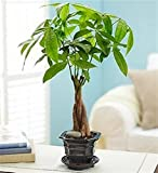 Altezza: 70 cm Diametro vaso: 15 cm Periodo di fioritura: giugno, luglio, agosto Tipo di pianta: sempre verde Quando rinvasare: ogni anno a marzo