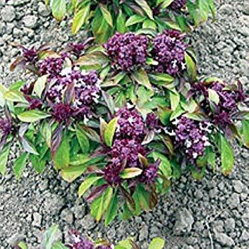 Shop Meeko Graines de fines herbes - Basilic Thai - 800 graines