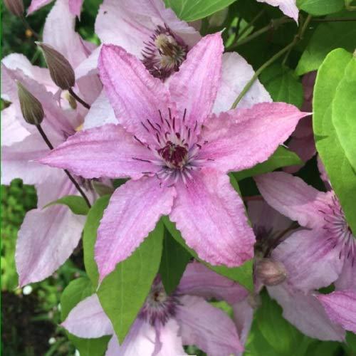 2 x Clematis hagley Hybrid (Waldrebe) - 2-er set Kletterpflanzen - Rosa, Mehrjährig blühende Kletterpflanzen & Winterhart | 2 x 1,5 Liter Topfen
