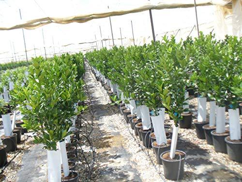 citronträd lidl