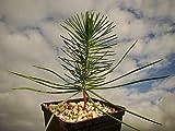 1 paraguas de pino mediterráneo para plantas de pino pino, semillas comestibles