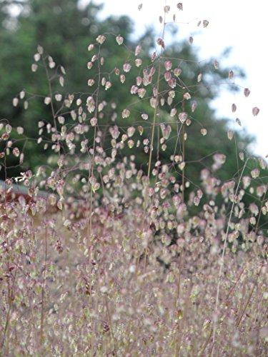 Briza media - Zittergras, 3 Pflanzen im 7/6 cm Topf