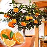 Bloom Green Co. 20 semillas comestibles de naranja, semillas frutales de naranjas de ├Г┬бrboles frutales, semillas de naranjos c├Г┬нtricos de bons├Г┬бi caseros