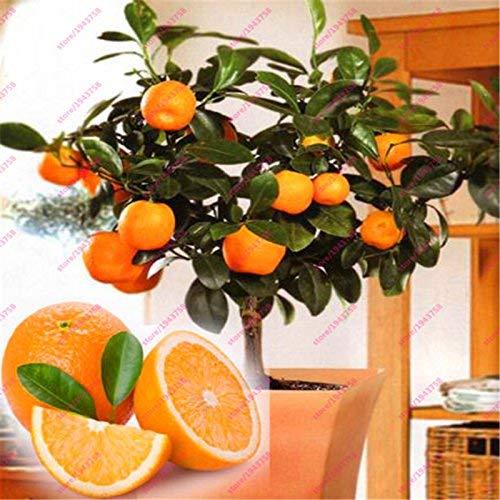 Bloom Green Co. 20 semillas comestibles de naranja, semillas frutales de naranjas de árboles frutales, semillas de naranjos cítricos de bonsái caseros