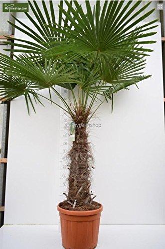 Trachycarpus fortunei, Palme, Hanfpalme Winterhart 200+cm Stamm 80-100cm - Topf Ø 48 cm - PALLETTENVERSAND INNERHALB DEUTSCHLAND