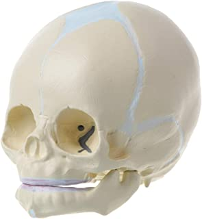 Huilier 1: 1 Human Fetal Baby Infant Medical Skull Anatomical Skeleton Model Teaching Supplies for Medical Science