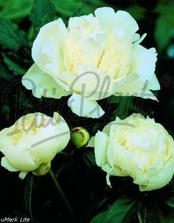 Beetpflanzen (Paeonia hybride 'Duchasse de Nemours') Pfingstrose weiß
