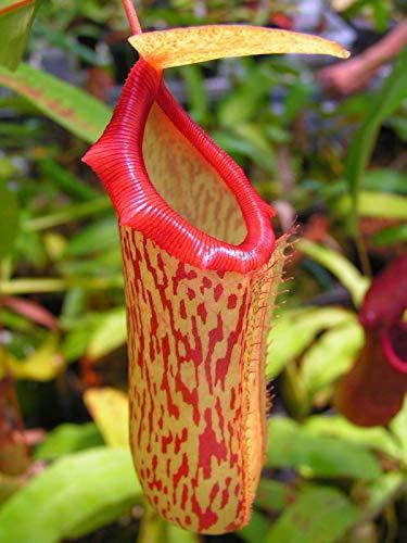 50 Pitcher Hanging rose plante carnivore Graines de fleurs Flytrap Bug Eating Fly